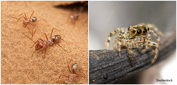 Left: the Saharan desert ants have one of the highest thermotolerances in the animal kingdom; right: no spider lives at higher altitudes than the Himalayan jumping spider